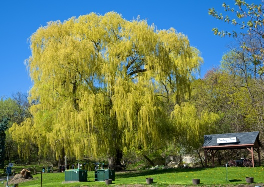 Fantasy Farm's willow trees, 55 Pottery Road