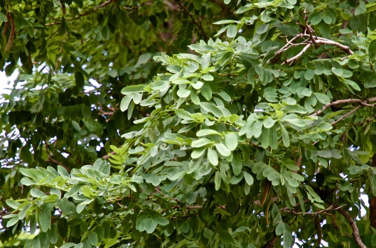 Black locust leaves