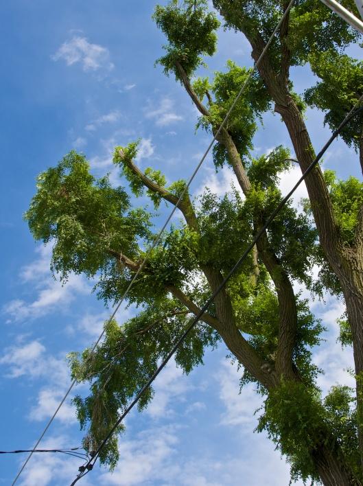 Siberian elm pom poms