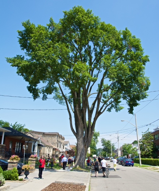 Healthy elm tree on Torrens Avenue