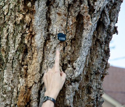 The elm has been tagged by the City of Toronto