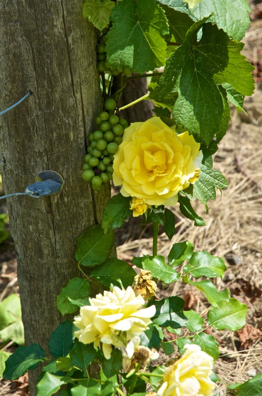 rose bushes are planted at the end of each vineyard row – they act as an early warning of mildew or fungal disease