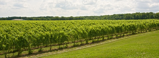 the beautiful vineyards at Tawse