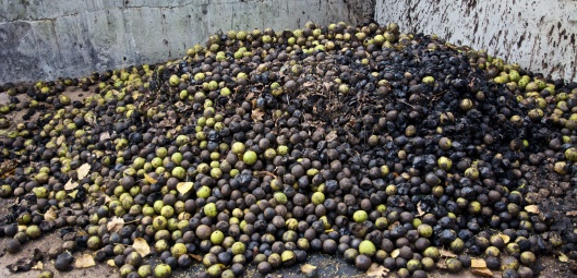 black walnuts that are fed to the Wild Boars