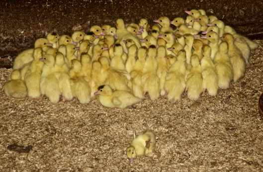 one-week-old Muscovy ducks